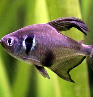 black phantom tetra phantom tetra tetra black phantom phantom black tetra all black phantoms phantom tetra fish black phantom tetra fish black on black phantom