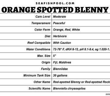 orange spotted blenny