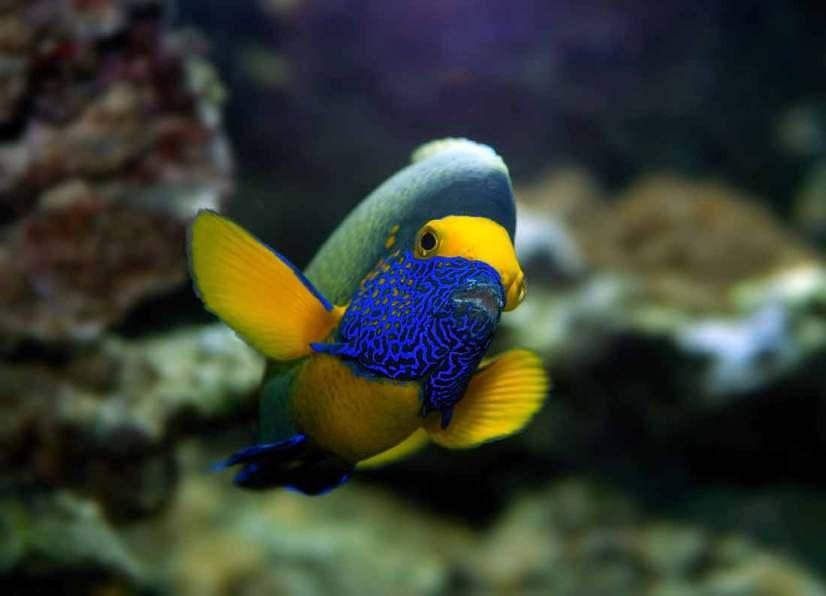 Blueface Angelfish
