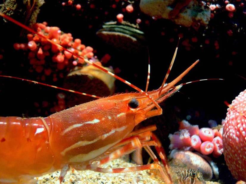 freshwater lobster aquarium