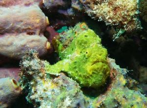 Frogfish shot on SeaLife underwater camera