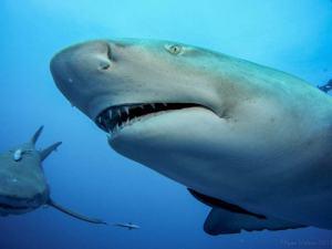 Lemon and tiger sharks shot on SeaLife underwater camera