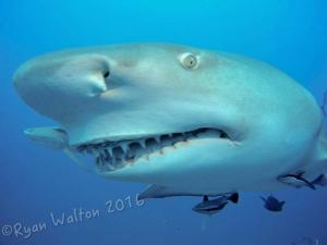Lemon shark shot on SeaLife underwater camera