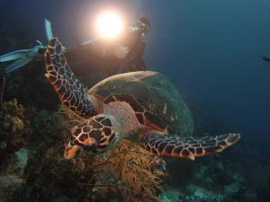 Hawksbill turtle shot on SeaLife underwater camera