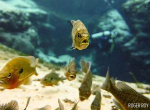 Bluegills shot on SeaLife underwater camera