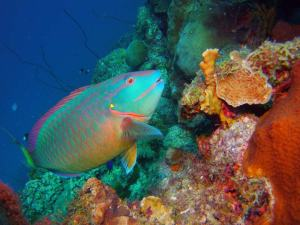 Parrotfish shot on SeaLife underwater camera