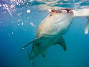 Whale shark shot on SeaLife underwater camera