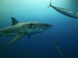 Great white shark shot on SeaLife underwater camera