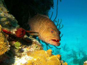 Grouper shot on SeaLife underwater camera