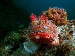 Scorpionfish shot on SeaLife underwater camera
