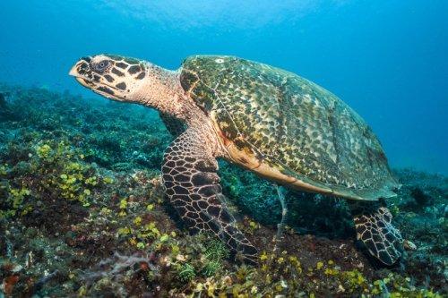 sea turtle kubu indonesia sealife