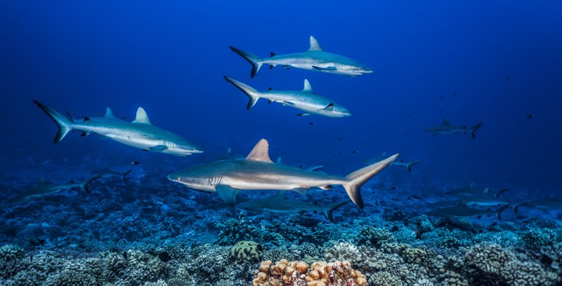 school of sharks in fakarava french polynesia sea