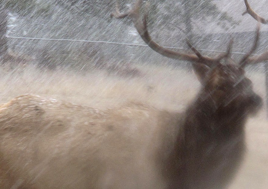 Elk Blur Photo Seamus Berkeley