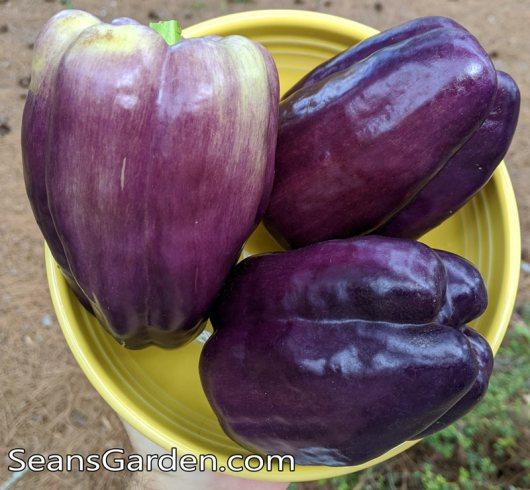 purple bell pepper
