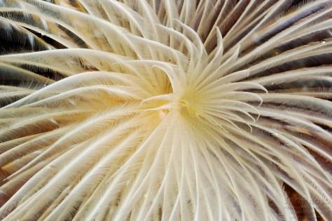 SABELLA SPALLANZANI Secca della Formica