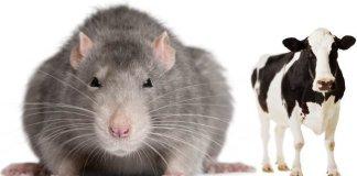 Ratos mutantes podem atingir o tamanho de vacas