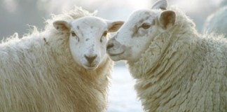 O que é ovelhar?