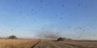 Nuvem de gafanhotos chega à Argentina e se aproxima do Brasil