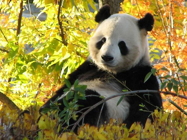 relaxed-panda