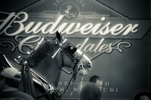 budweiser-horses
