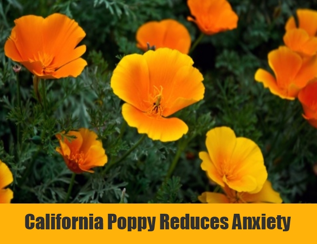California Poppy Reduces Anxiety