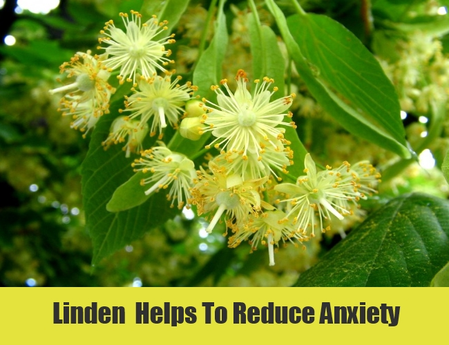 Linden  Helps To Reduce Anxiety