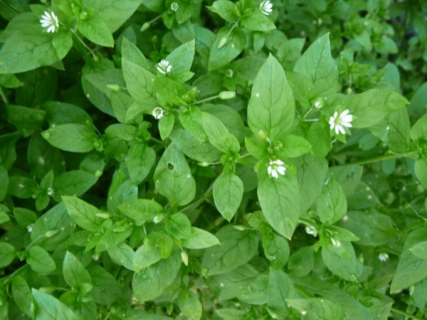 Chickweed