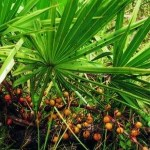 Stinging Nettle & Saw Palmetto