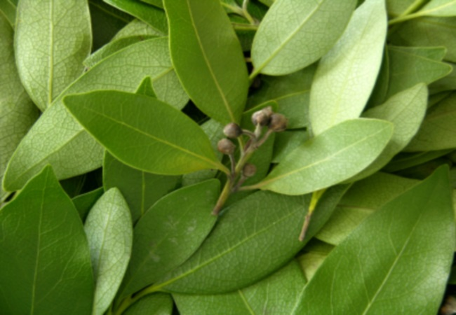 Bay Leaves For Teeth Whitening