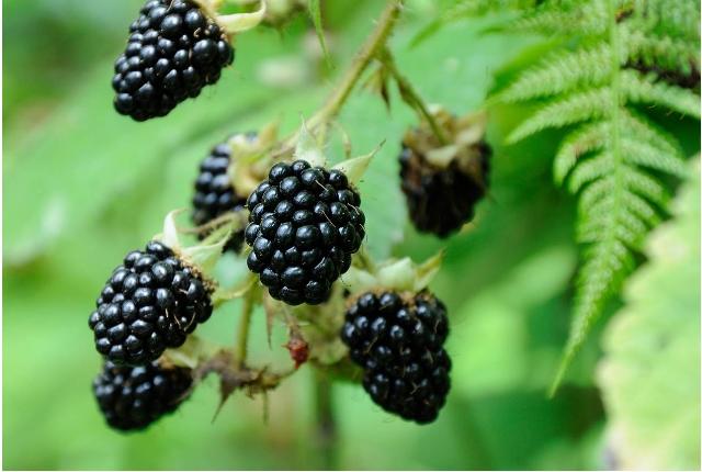 Blackberries ( Rubus fruticosus)