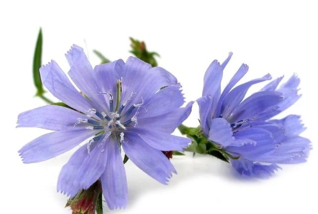 Chicory ( Cichorium intybus)