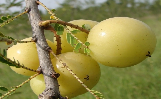 The Magic Of Indian Gooseberry