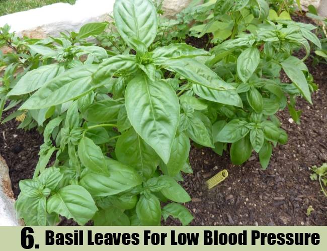 Basil Leaves For Low Blood Pressure