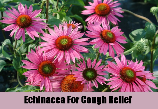 Echinacea For Cough Relief