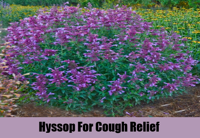Hyssop For Cough Relief