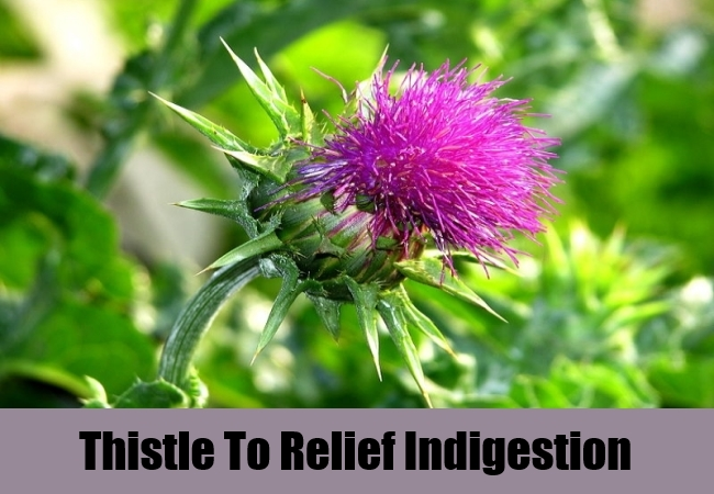 Thistle To Relief Indigestion