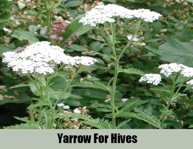 Yarrow For Hives
