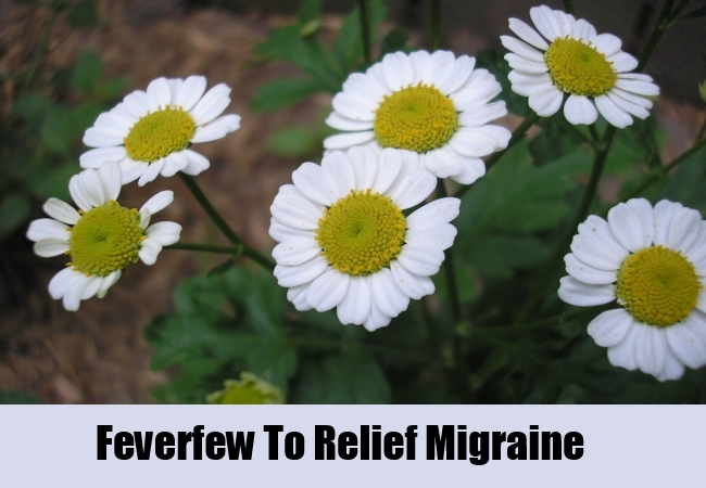 Feverfew To Relief Migraine