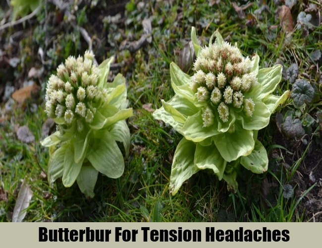 Butterbur For Tension Headaches
