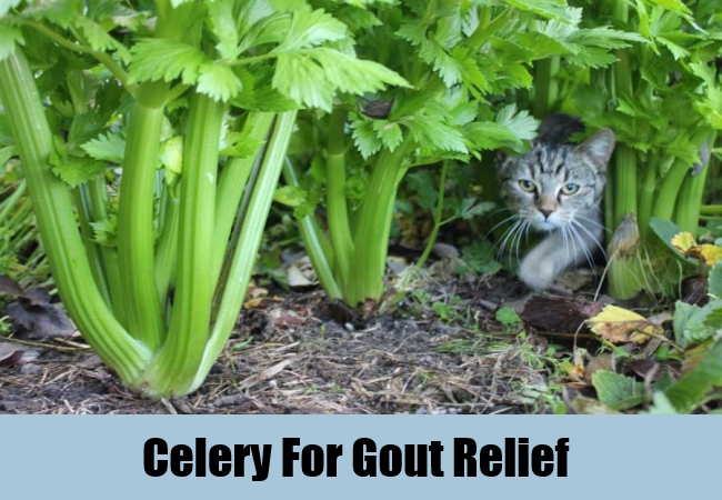 Celery For Gout Relief