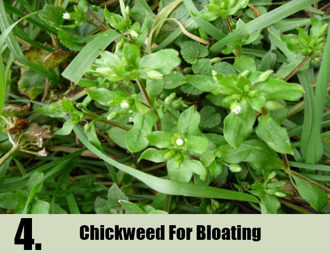 Chickweed For Bloating