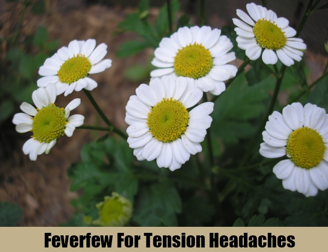 Feverfew For Tension Headaches