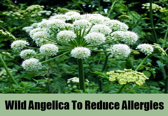 Wild Angelica To Reduce Allergies