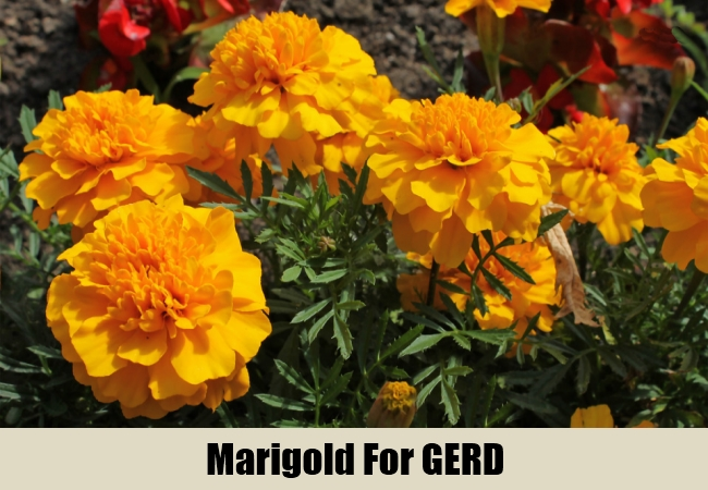 Marigold For GERD