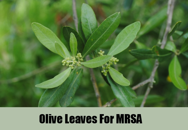 Olive Leaves For MRSA
