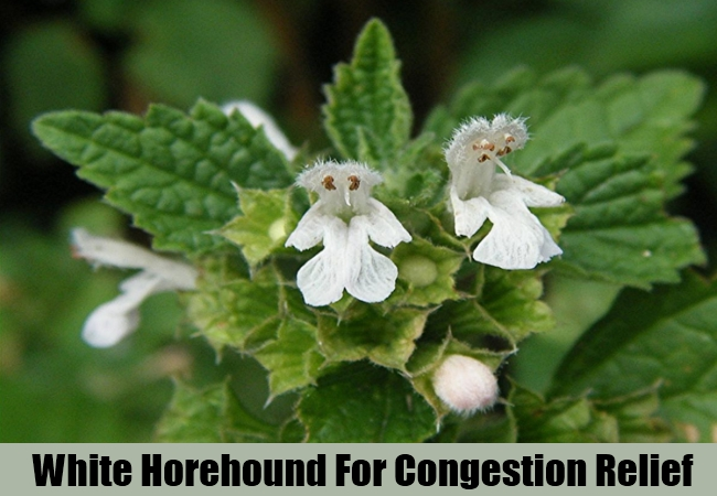 White Horehound For Congestion Relief