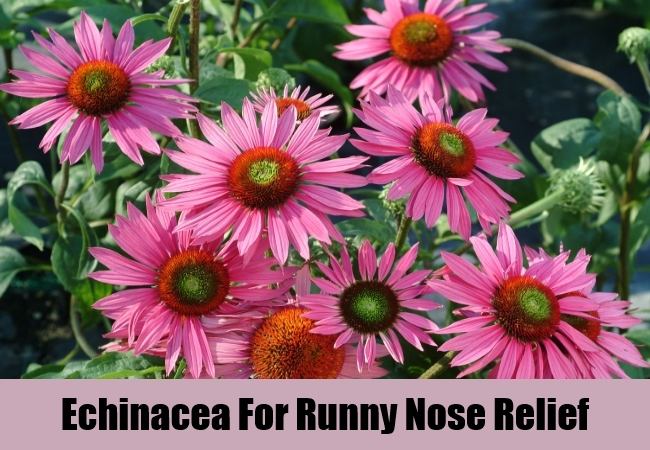 Echinacea For Runny Nose Relief