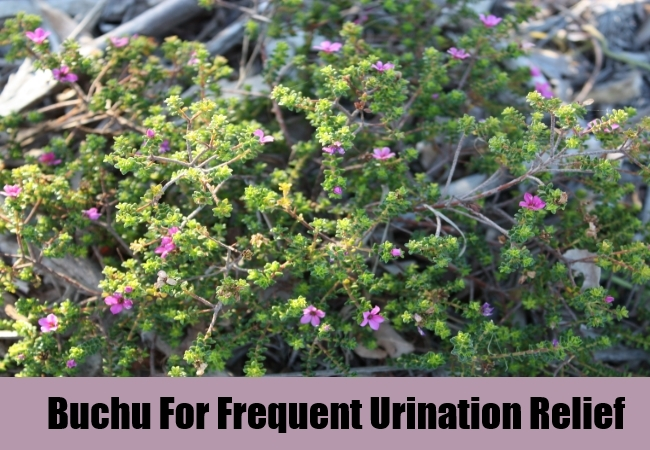 Buchu For Frequent Urination Relief