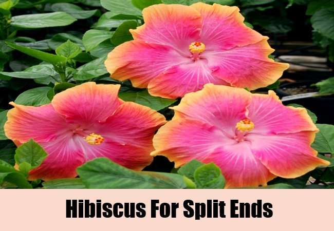 Hibiscus For Split Ends