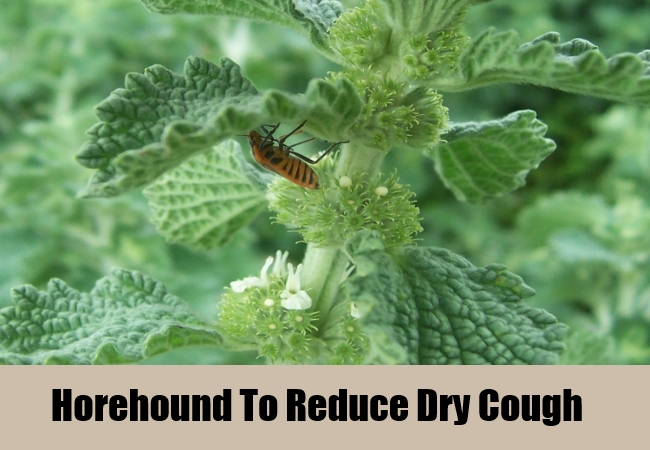 Horehound To Reduce Dry Cough
